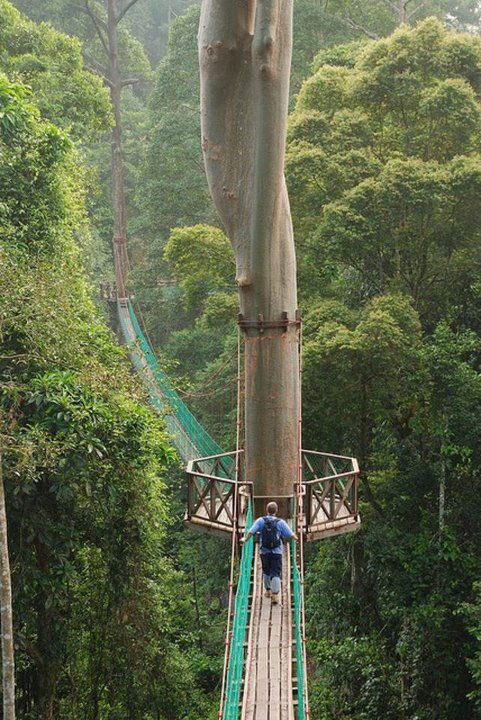 good morning from Rainforest Canopy Walkway - Borneo, Indonesia.jpg