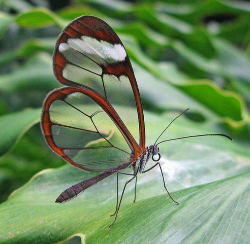 Glass-Wing-Butterfly.jpg.492x0_q85_crop-smart.jpg