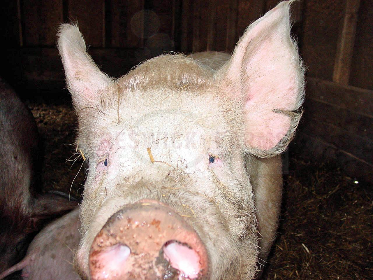 Pig 02022012 a.jpg