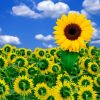 Thumbnail of a photo from user OwnMothers called sunflowers_3.jpg