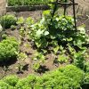Raised beds growing wildly.jpg