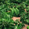 Thumbnail of kale.jpg
