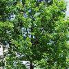 Thumbnail of white oak.jpg