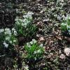 Thumbnail of a photo from user GaryDayEllison called snowdrops.jpg