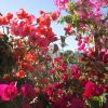 bougainvillea.jpg