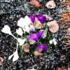 Thumbnail of a photo from user AavaWhistler called sokeil_ flowers (crocus).jpg