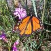 Thumbnail of a photo from user PointPeleeNP called Monarch Butterfly on Cylindrical Blazing Star TW.jpg